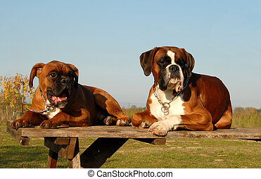 family boxer - male purebred german boxer and his puppy