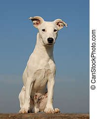 puppy jack russel terrier - portrait of a puppy purebred...