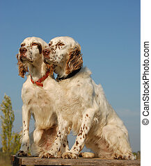 two english setters