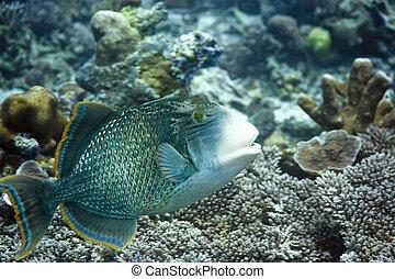 Triggerfish - Tropical fish Triggerfish Maldives Indian...