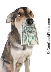 Dog with money - Funny dog holds dollars in mouth, isolated...