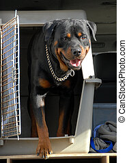 rottweiler in a box - beautiful purebred rottweiler in a car...
