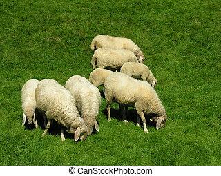 Sheeps, Pastar