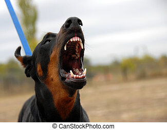 dangerous doberman - portrait of a dangerous purebred...