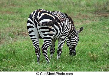 Zebra - A nice shot of a Zebra. This is a very pretty...