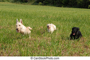 running puppies scottish terrier