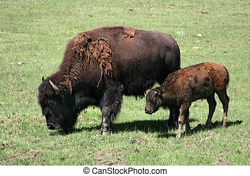 Bison Cow and Calf (Bison bison) grazing in early Summer,...
