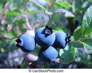 blue berry - A small bunch of blue berry on a hill