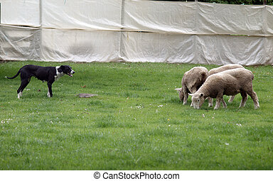 Sheep Dog at Work - A sheep dog working three sheep in a...