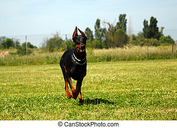 running doberman in a field