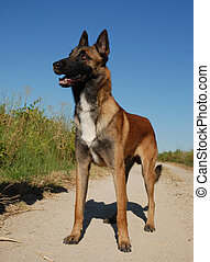 purebred belgian shepherd malinois - beautiful young...