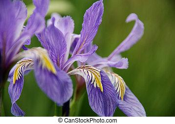 wild iris - new Mexico