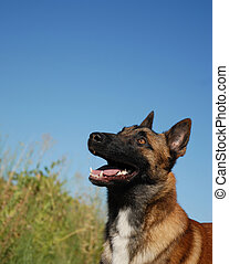 watching belgian shepherd