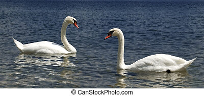 Two swans on the Ohrid lake from Macedonia
