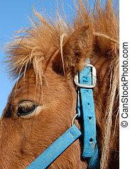 shetland pony - detail of a head of a purebred shetland pony...