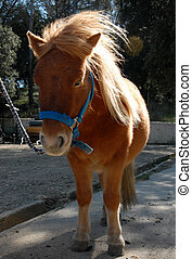 shetland pony - beautiful shetland pony with sunshine in the...