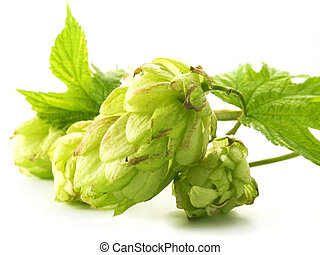 hop - close-up of fresh, green hop isolated on white...