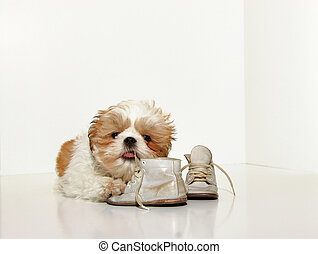Naughty Puppy - A cute Shih Tzu puppy chewing on the...