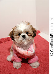 Shih Tzu Fashion - A 12 week old female Shih Tzu puppy...