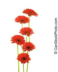 red gerberas - lose-up of red gerbera flowers against white...