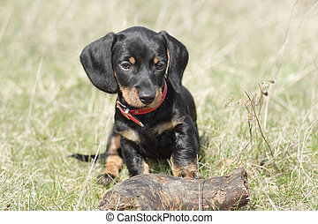 Little cute dog - Little cute dackel puppy outdoor