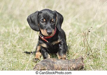 Little cute dog - Little cute dackel puppy outdoor