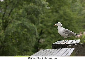 Sea gull on a bench, laurus canus