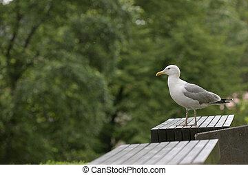Sea gull on a bench, laurus canus