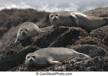 Harbor Seals - Group of Harbor Seals relaxing in the sun in...