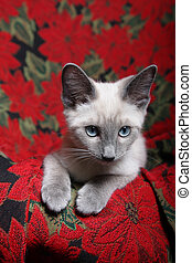Christmas Kitten - Small, lilac point Siamese kitten on red...