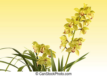 Orchid - A beautiful fresh orchid on yellow background