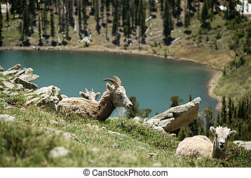 wild mountain sheep - and mountain lake, Pecos Wilderness,...