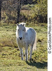 White Horse - A white horse, looking at the camera.
