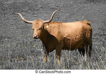 largo, cuerno, vaca, (Bos, taurus)