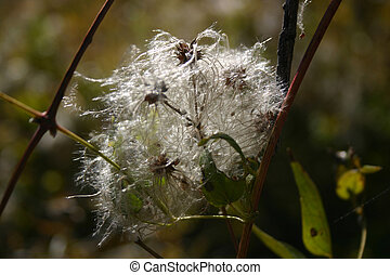 White Clematis (Clematis ligusticifolia) - Fluffy seedpods...