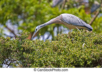 a white faced heron