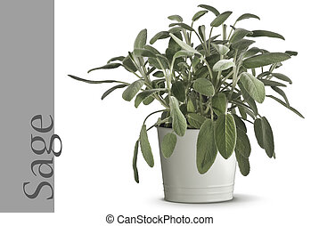 sage plant in vase isolated on white
