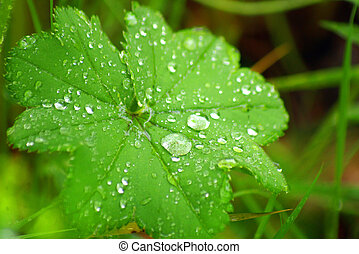 green leaf with water drops - macro of a green leaf with...