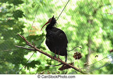 Black bird - Black exotic bird in cage