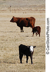 White faced calf in field with other cattle grazing.
