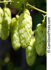 Hop plant at the homegarden