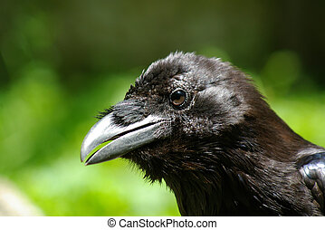 a head of raven on green backgroung