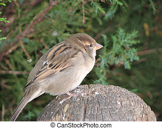 Wary Sparrow - Wary sparrow, perched on fencepost.