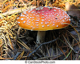 Fly-agaric - Fly agaric mushroom in the autumn forest