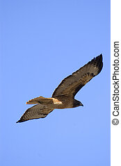 Red Tail Hawk - Red tail hawk flying against a blue sky