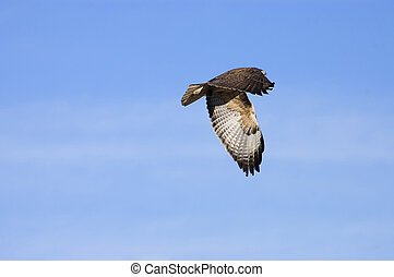 Red Tail Hawk - Red tail hawk flying with mouse