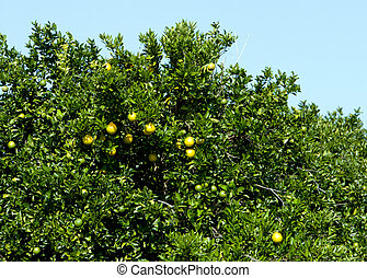 Grapefruit on tree - Florida grapefruit ripening on a citrus...