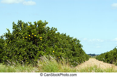 Citrus grove - Florida citrus grove with fruit ripening on...
