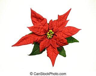 red poinsettias Christmas flower - poinsettias Christmas...