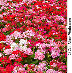 geraniums - heaps of geraniums for a beautiful floral...